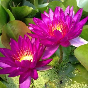 Nymphaea_Purple_Fantasy2_t640